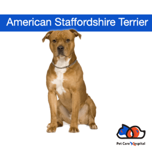 About-American-Staffordshire-Terrier