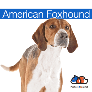 a-z-dog-breeds-pch-american-foxhound