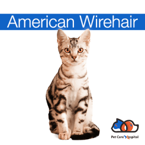 a-z-cat-breeds-pch-icon-American-Wirehair