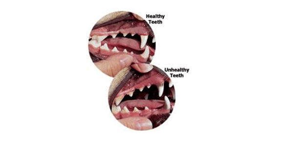 pet's healthy teeth check-up