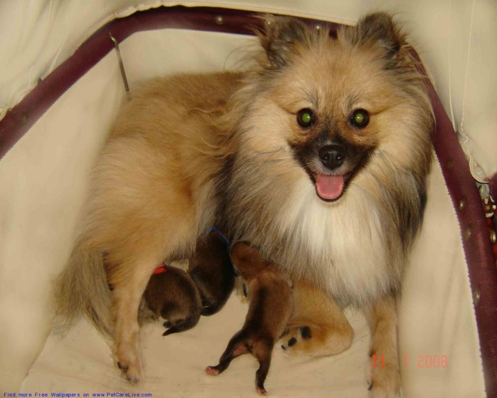 Wallpapers Pomeranian Puppies Funny Pet . Pomeranian Pictures Haircuts ...