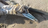 dead gannet head