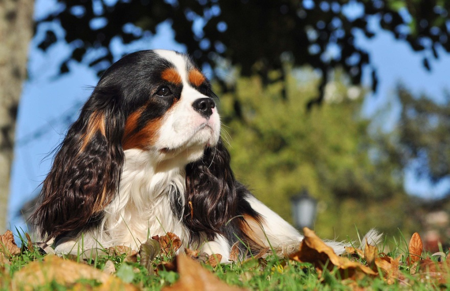 Best Dog Foods for Cavalier King Charles Spaniels - LIFE WITH DOGS