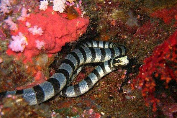 Serpent tricot-rayé. Sogod Bay, Philippines. Février 2008.