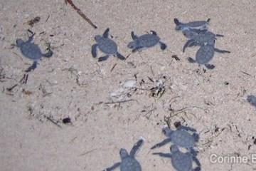 Bébés tortues à Derawan. (Bornéo, Indonésie, juillet 2009).