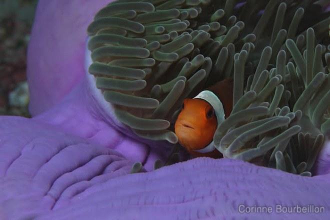 Poisson-clown. Croisère-plongée Similan. Février 2011, Thaïlande.