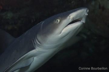 Requin pointe-blanche. Maumere, Flores, Indonésie. Juillet 2011.
