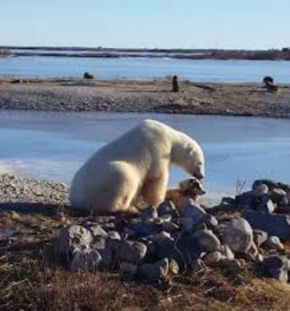 Polar Bear Patting And Eats Dog