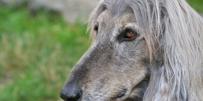 Is Your Dog Suffering From Canine Cognitive Dysfunction?