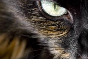 Can Lysine Treat Cat Influenza?