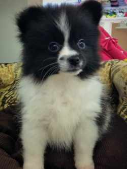 Plush Dogs Pomeranian Rottweiler Mix Sale Pomeranian Rottweiler Mix Black Pomeranian Puppy Black Pomeranian Puppy Pets