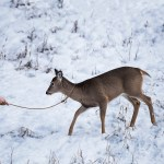 Philip Kanwischer Canwischer photography wildlife deer calgary photograph photo manipulation dear leash wild animal
