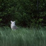 Coyote Waterton Philip Kanwischer Photography Calgary