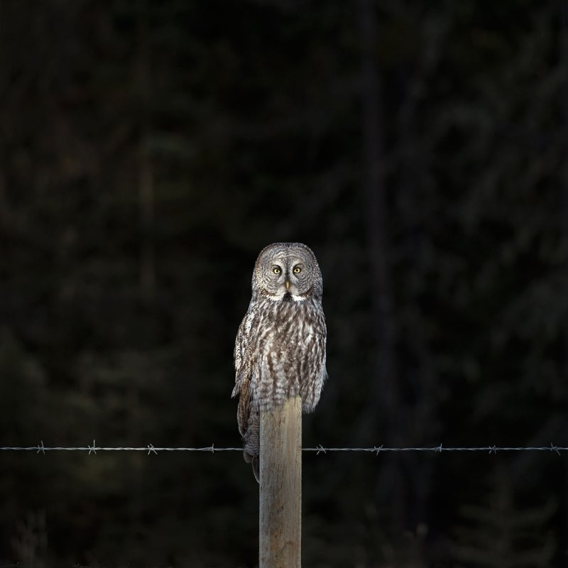 Philip Kanwischer Photography calgary photographer great grey owl light
