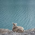 philip kanwischer baby big horned sheep baby sheep mothers instincts photography fine art photography