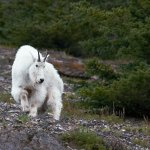 Philip kanwischer photography mountain goat