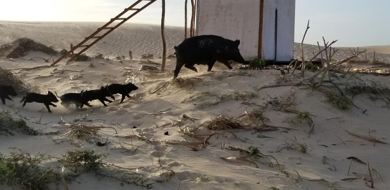 Pigs at Lagoa Tatajuba.