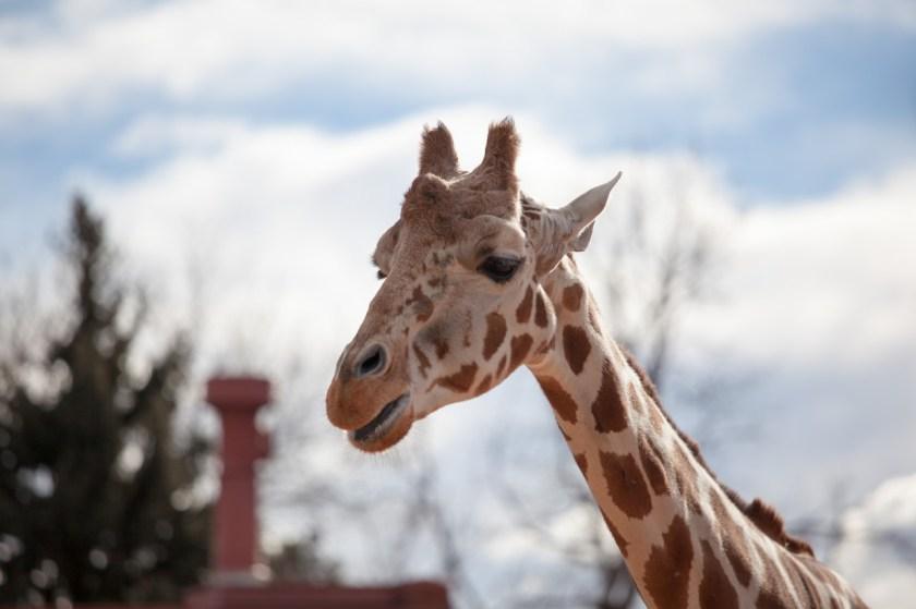A giraffe thoughtfully chewing