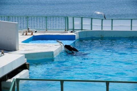 鴨川シーワールド シャチがカモメに餌やり