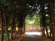 Тисова алея дендрарію Національного лісотехнічного університету