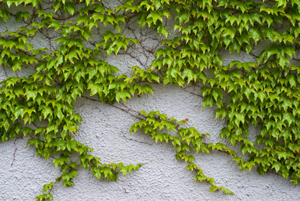 Ivy wall 50mm