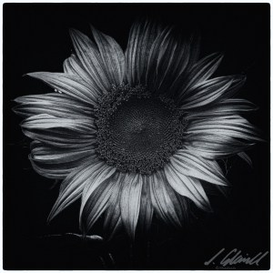 sunflower_cool
