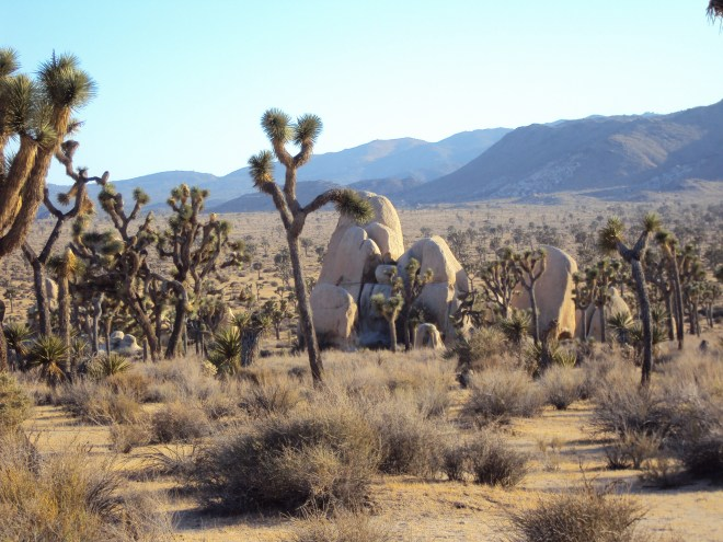 Joshua trees go way up into the hills.