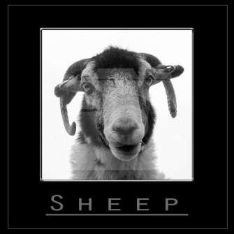 Sheeps of Scotland