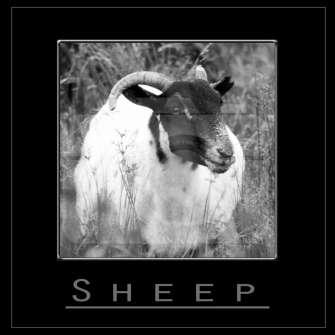 SheepsofScotland_PTH_Sheepsheep_041