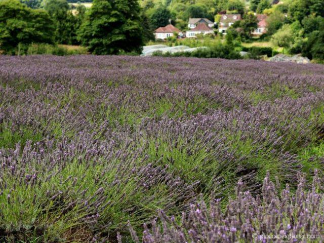 Mayfield Lavender Farm