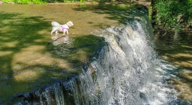 Bichon Enjoys Hidden Waterfalls at Nerstrand Big Woods State Park