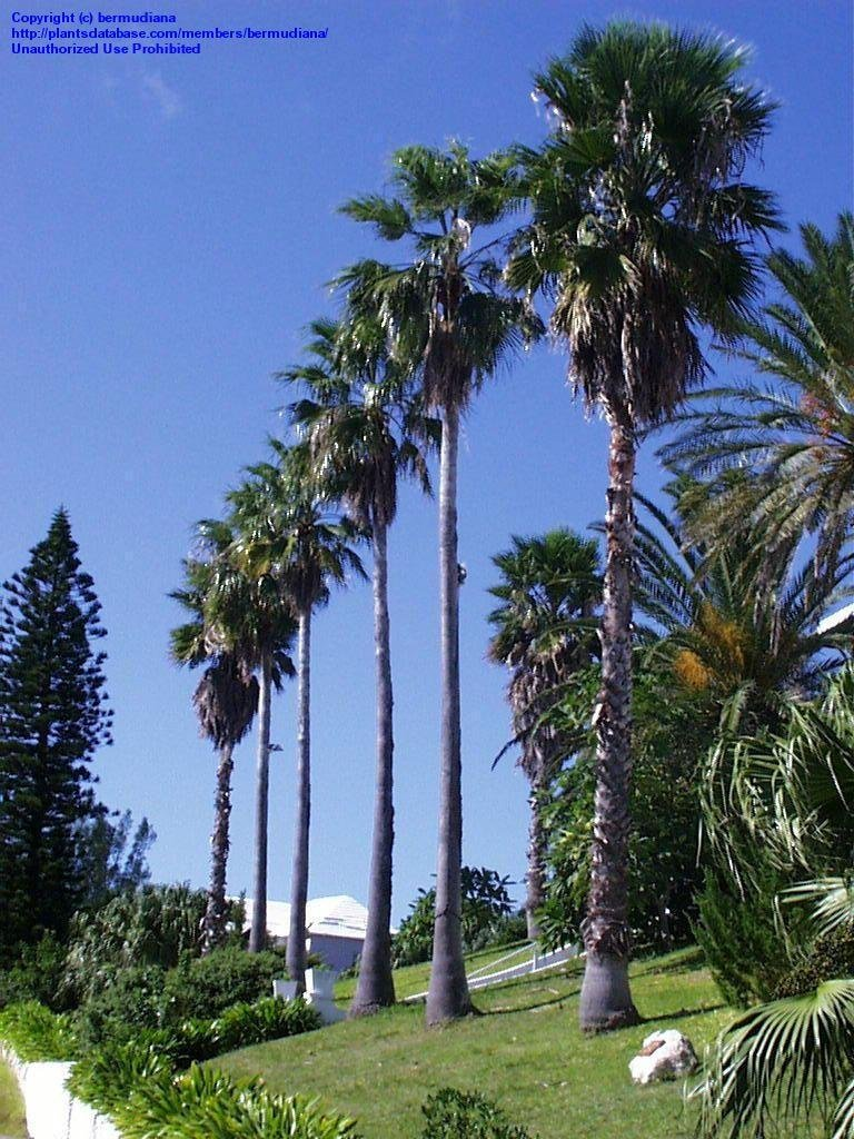 Ideal Plantfiles Mexican Fan Palm Bybermudiana Plantfiles Mexican Fan Palm By Mexican Fan Palm Fruit Mexican Fan Palm Invasive houzz-03 Mexican Fan Palm