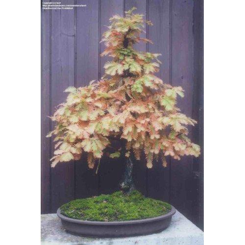 Medium Crop Of Dawn Redwood Bonsai