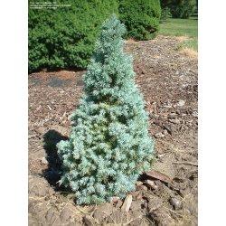 Small Crop Of Globe Blue Spruce