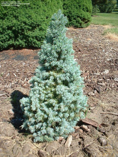 Medium Of Globe Blue Spruce