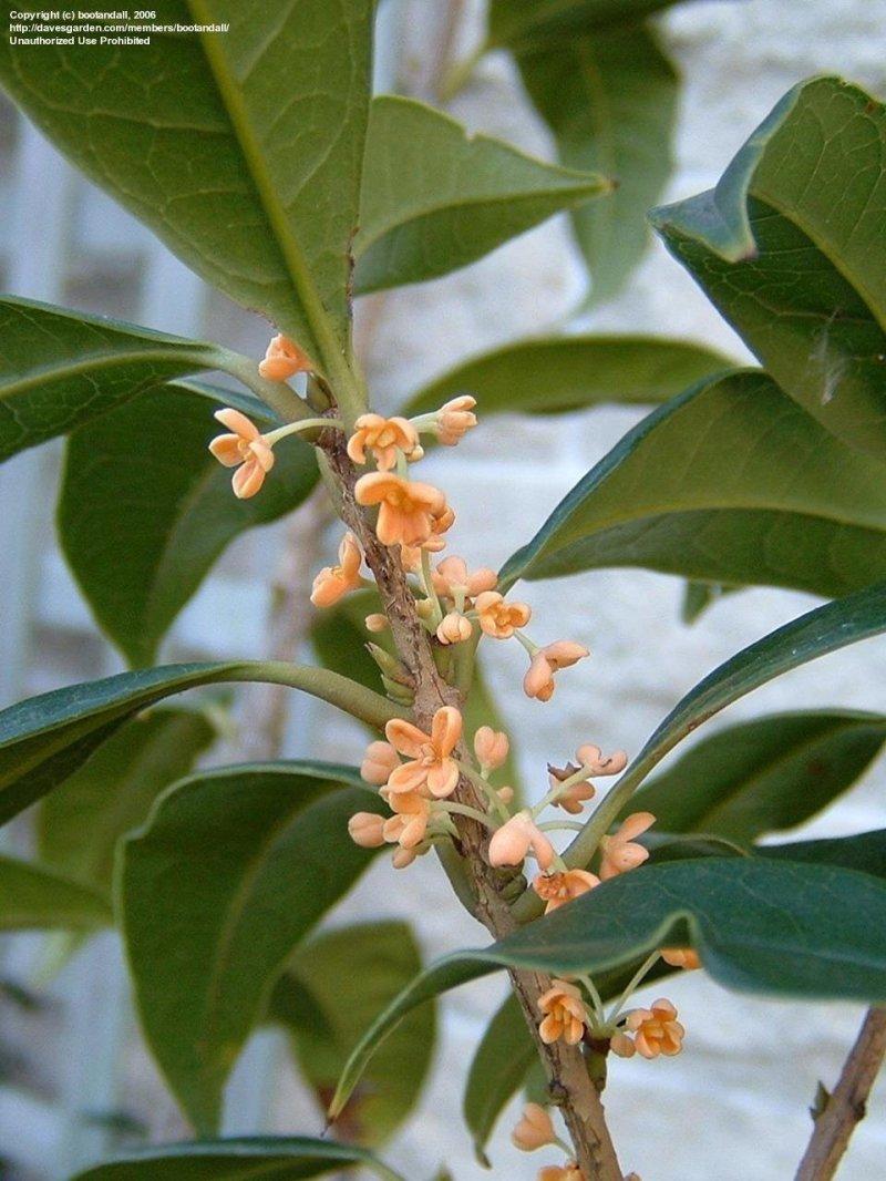 Large Of Fragrant Tea Olive