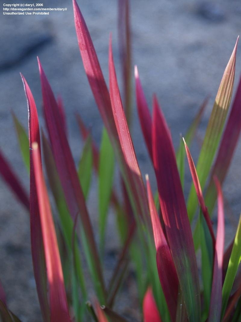 Grand Japanese Blood Grass Plantfiles Cogon Japanese Japanese Blood Grass Winter Japanese Blood Grass Images houzz 01 Japanese Blood Grass