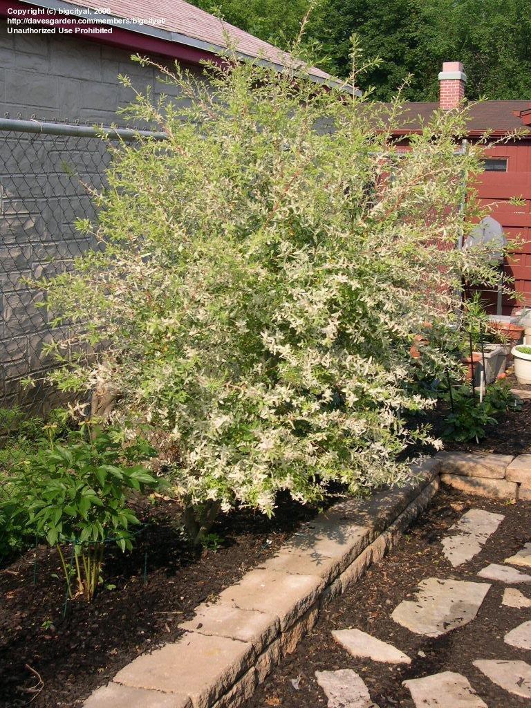 Gallant Dappled By Bigcityal Dappled Willow Tree Form Dappled Willow Tree Ontario Shrubs houzz-03 Dappled Willow Tree
