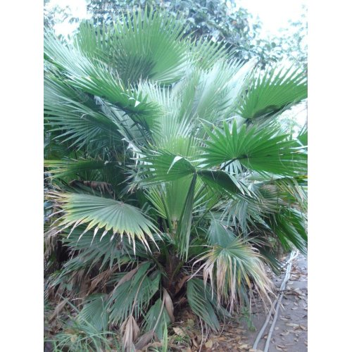 Medium Crop Of Mexican Fan Palm