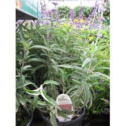 Small Crop Of Mexican Bush Sage