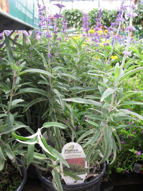 Medium Of Mexican Bush Sage