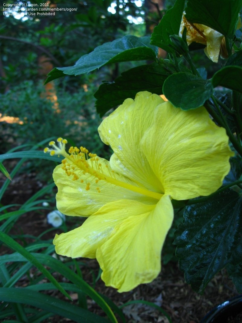 Large Of Hibiscus Yellow Leaves