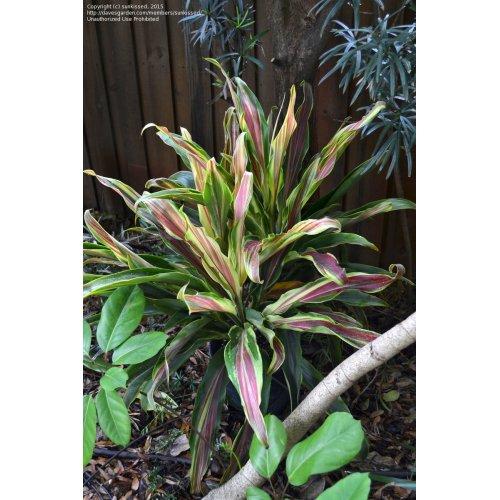 Medium Crop Of Hawaiian Ti Plant