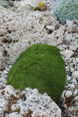 Small Of Irish Moss Ground Cover