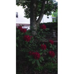 Small Crop Of Nova Zembla Rhododendron