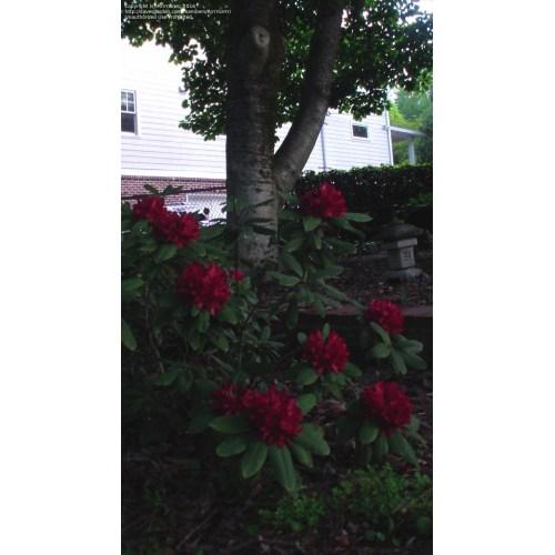 Medium Crop Of Nova Zembla Rhododendron