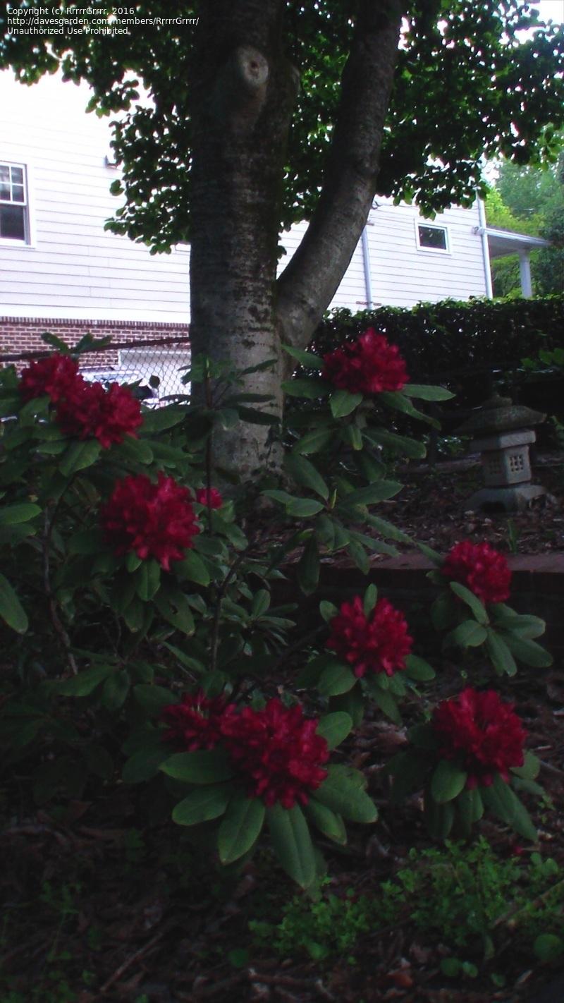 Large Of Nova Zembla Rhododendron