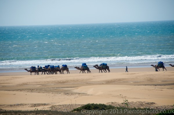 Camels on the beach at Essaouira, Morocco