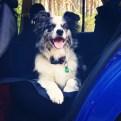 Shelby podróżuje samochodem ;)