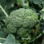 ブロッコリー栄養成分は生が特化型効果効能!!旬スーパーフードの王様‼